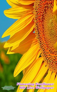 Incredible Flowering Sunflower - náhled