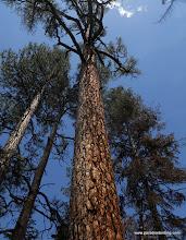 Photo: Giannt sugar pine, Lassen Nat'l Forest.