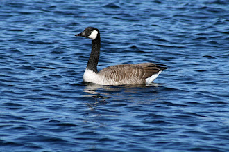 Photo: #BirdPoker in Water curated by +Phil Armishaw  A lone Canada Goose for my opening hand. There were at least 100 in this knot of geese, so framing for a single wasn't easy.