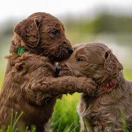 Theo and Wallace  by Matt  Glenn - Animals - Dogs Puppies