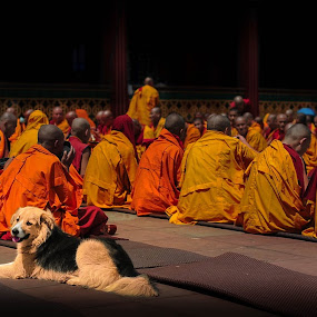 Sikkim Monastery by Runa Nightsongwoods - People Street & Candids ( religion, orange, buddhism, faith, monastery, praying, india, spirituality, harmony, dog, sikkim, human )