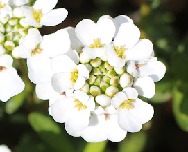Photo: Some white flower. Looks like a bunch of tiny toasted garlic in the center.