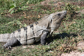 Photo: Iguana at Tulum