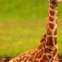 Baby Giraffes Wallpaper Images icon