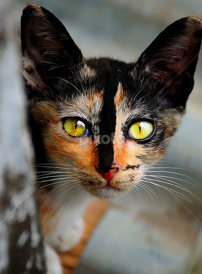 Belang Telon by Martin Marthadinata - Animals - Cats Kittens ( cutest cats )