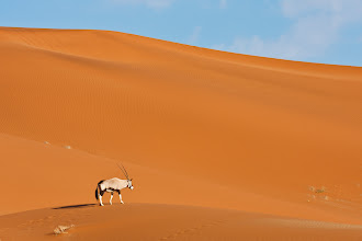 Photo: A lone oryx walks across the dunes at Sossusvlei, Namibia
