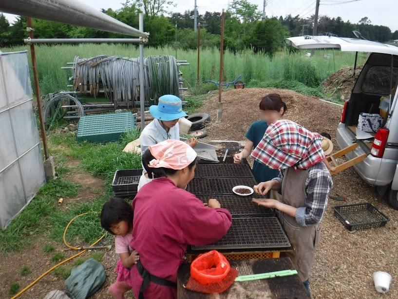 神丹穂は背が150㎝あって倒伏しやすいので、セルトレーに1粒播きして、しっかりした苗を作り手植えすることにしました。