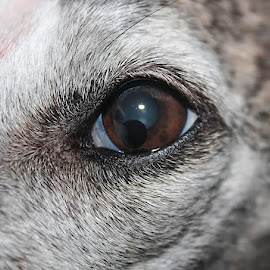 The eye of the whippet by Shana Snow - Animals - Dogs Portraits (  )