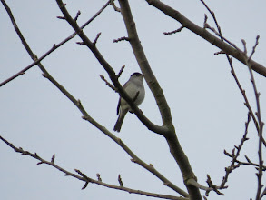 Photo: Priorslee Lake Not often a Blackcap will sit in the open like this. Pity it was 50 feet up and the image is rather small. (Ed Wilson)