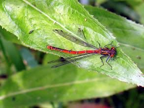 Photo: Large Red Damselfly