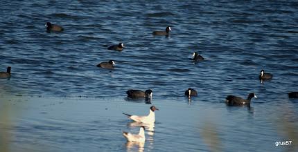 Photo: Лысуха, Common Coot, (Fulica atra), Миссолонги