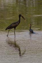 Photo: Open-billed stork catching clams and a cormorant waiting for anyleft-over Uma cegonha-de-bico-aberto apanhando bivalves e um corvo-marinho à espera dos restos