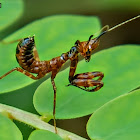 Banded flower mantis