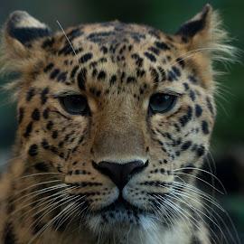 Ezra  by Tracy Morris - Animals Lions, Tigers & Big Cats