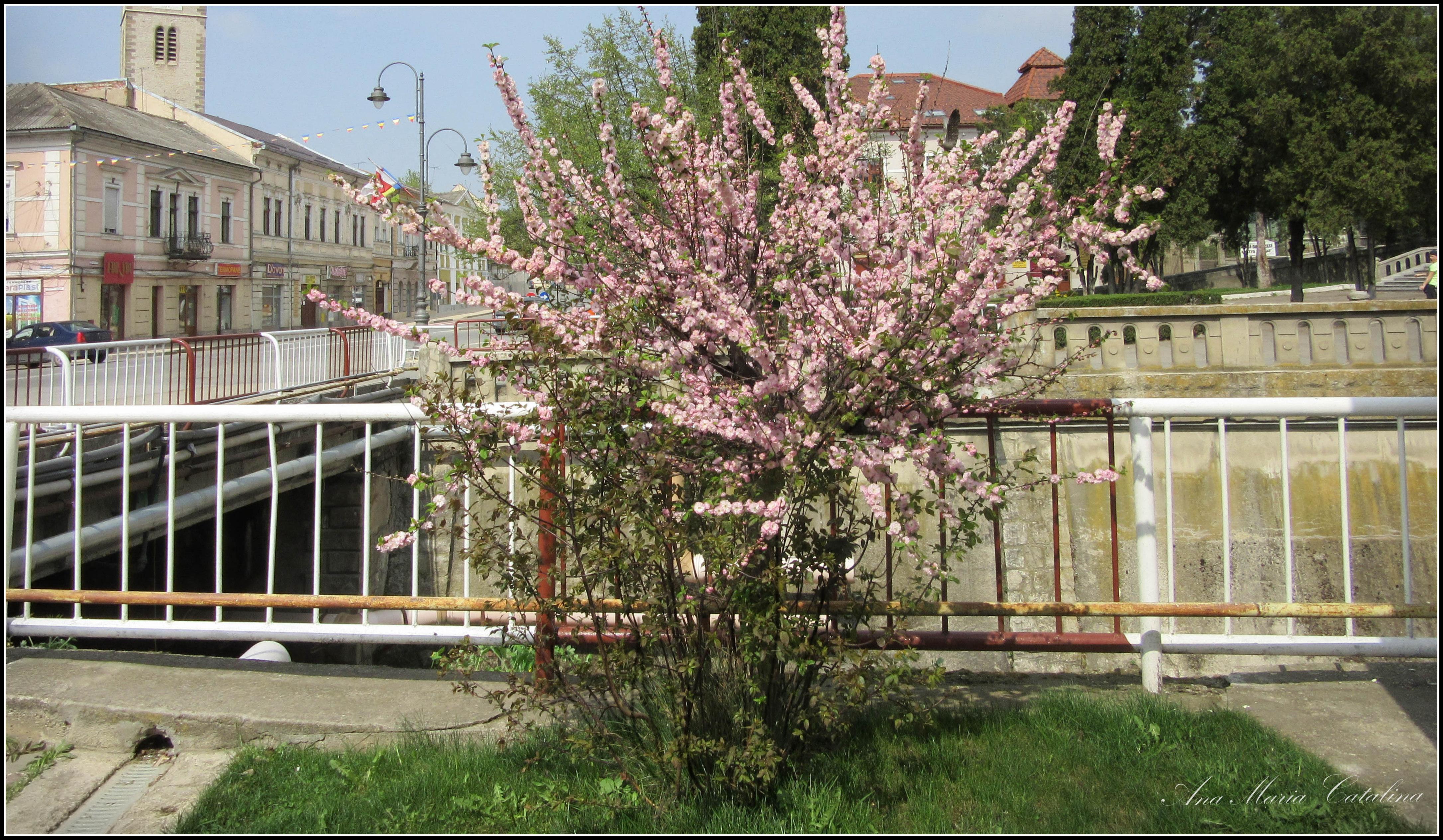 Photo: Prunus  din Piata 1 Decembrie 1918 - 2016.04.10 album http://ana-maria-catalina.blogspot.ro/2016/04/ciresi-japonezi-prunus-serrulata.html