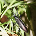 ♂ Great Capricorn Beetle / Hrastova strizibuba