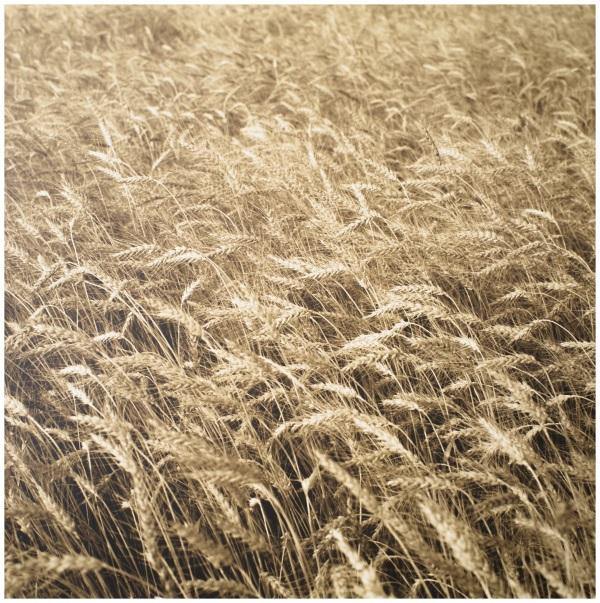 pr-00037_Wheat