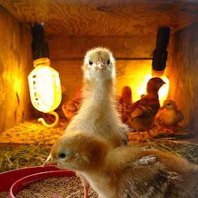 Chicken Little by Leimaile Guerrero - Animals Birds ( chickens, chicks )