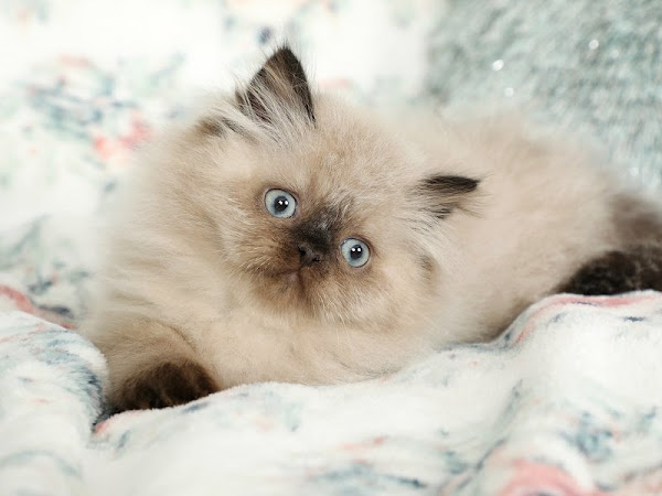 Doll Face Persian Kittens - Luxury Persians