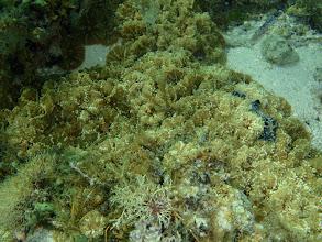 Photo: Brown Mushroom Anemone, Siquijor Island, Philippines