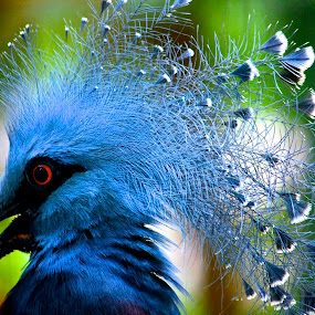 Victoria Crowned Pigeon by PS FOONG - Animals Birds ( bird, victoria crowned pigeon, World_is_Blue,  )