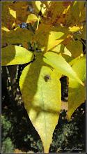 Photo: Arțar auriu (Acer negundo Kellys Gold) - din parcul din fata Primariei - 2016.10.10