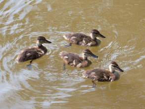 Photo: Ducklings in Alexandria, VA.  When I was a child, my mom (who is from Germany), used to sing me this song: Alle meine Entchen schwimmen auf dem See, schwimmen auf dem See, Köpfchen in das Wasser, Schwänzchen in die Höh'.  It means: All my ducklings swim on the lake, Swim on the lake, Heads in the water, Tails in the air.