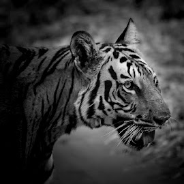 Tiger by Pravine Chester - Black & White Animals ( monochrome, animal, black and white, tiger, wildlife )