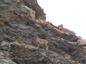 Photo: Day 6 - Bharals, the Himalayan goats