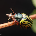 Calligrapher Leaf Beetle