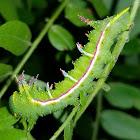Honey locust moth caterpillar