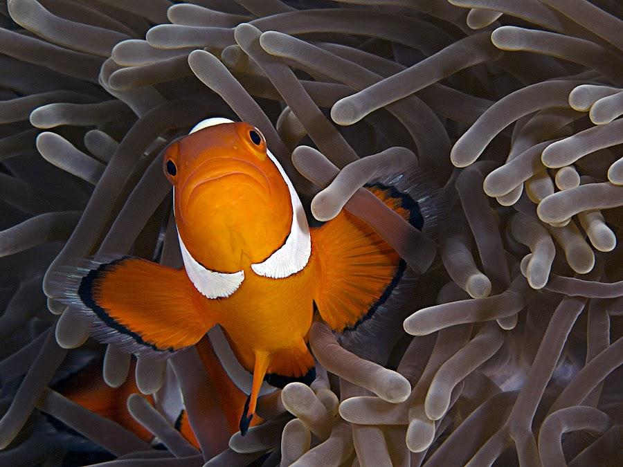 Anemonefish by Henry Jager - Animals Fish ( jager, anemonenfisch, underwater, anemone fish, unterwasser, dive, unterwasserfotografie, travel, anemonefish, underwaterphotography, conartix, photography, orange white, henry, anemone, scuba diving, tauchen, nemo, journalist, , sea creatures, underwater life, ocean life )