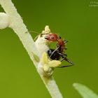Camponotus nicobarensis 尼科巴弓背蟻