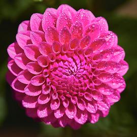Dahlia 8859~ by Raphael RaCcoon - Flowers Single Flower