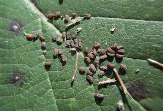 Photo: Scrophularia tristis K. Maly.- žalosni strupnik.
