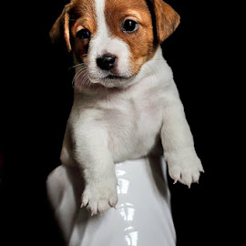 puppy in the cup by Alessandra Cassola - Animals - Dogs Portraits ( puppy, portrait, dog )