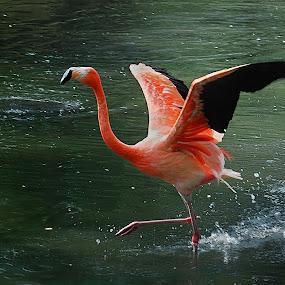 Flamingo by Inger Wakolbinger - Animals Birds