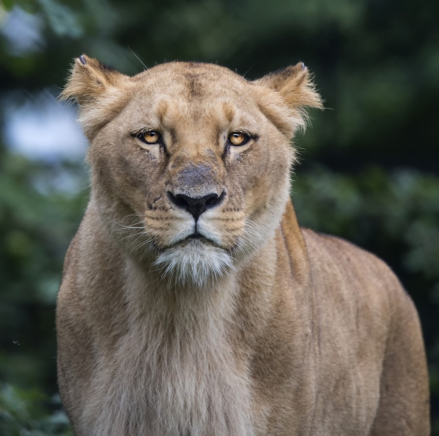 by Stanley P. - Animals Lions, Tigers & Big Cats