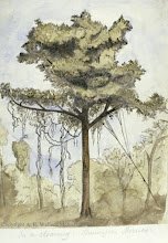 Photo: Watercolour painting of a rainforest tree in a clearing at Simunjan, Sarawak by Wallace in 1855. First published: Raby (2001). Scanned with permission from the Wallace family. Copyright of scan: A. R. Wallace Memorial Fund.