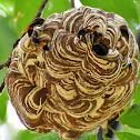 Common Hornet Nest