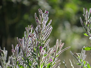 Photo: 12 Aug 13 Priorslee Lake: The Rose-bay Willowherb flowers are mostly over and the seed pods are starting to acquire the downy-look that precedes the masses of feathery seeds emerging when the pods dry and split. (Ed Wilson)