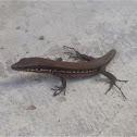 Troodos Wall Lizard