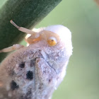 Flatid Planhopper