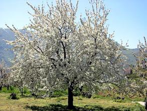 Photo: Ανθισμένη κερασιά στο Μοναστήρι (Βεργουβίτσα