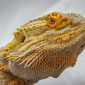 by Denise Flay - Animals Reptiles