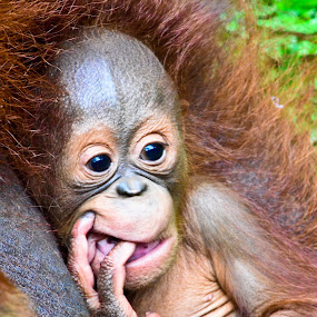 Baby Orang Utan (Pongo pygmaeus) by Curly Yanni - Animals Other ( jungle's law )