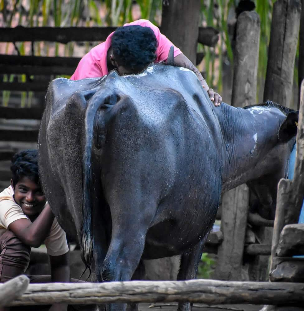 gowli+tribe+children+milking+buffalo+dandeli.jpg