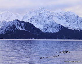 Photo: Barrow's Goldeneyes and the Seward skyline
