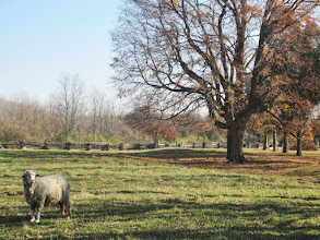Photo: A sheep in a field with a tree at Carriage Hill Metropark in Dayton, Ohio.