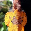 Rose-myrtle lappet moth